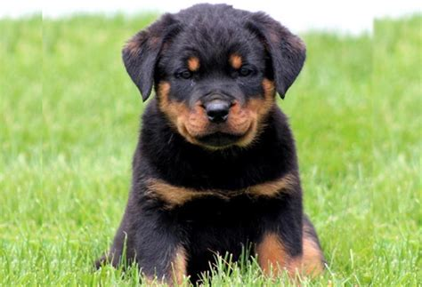 how to a rottweiler puppy how to take care rottweiler puppies pets world