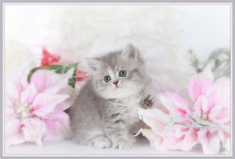 Lilac Cream Tabby Rug Hugger Kittenultra Rare Persian Rug Hugger Kittens For Sale