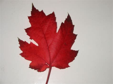 file maple leaves jpg file canadian maple leaf jpg wikimedia commons