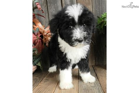 doodlebug photography indiana sheepadoodle puppy for sale breeds picture