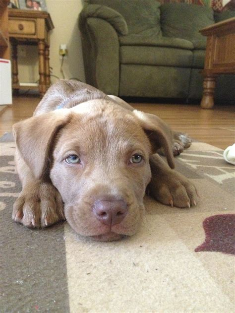 lab pit puppy chocolate lab and pitbull mix dogs beautiful colors and the o jays