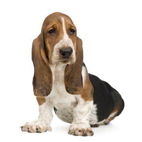 basset puppies lil whisperer basset hound