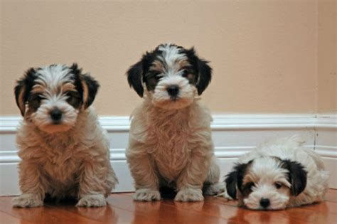 yorkie poo puppies for sale ta sell dogs tipperary sell puppies tipperary buy and sell puppies in tipperary