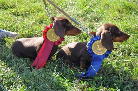 mini dachshund puppies for sale in ky chocolate and dachshunds info pictures and puppies breeds picture