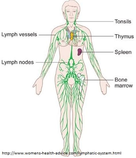 lymphatic drainage system diagram what is lymphedema