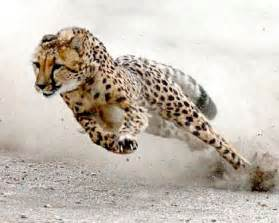 How Fast Does A Jaguar Run Cheetah Running At Speed Wolves Huskies And Cats