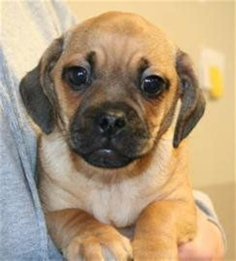 pug weiner mix pug dachshund mix breeds picture