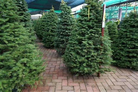 inexpensive live christmas trees near me trees in singapore where to buy live and ones living in singapore