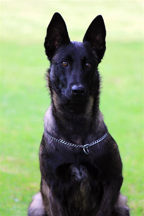 pastor belga de pelo corto venta de perros pastor belga malinois perro civil