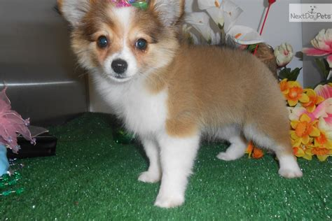pomchi puppies pin pomchi on