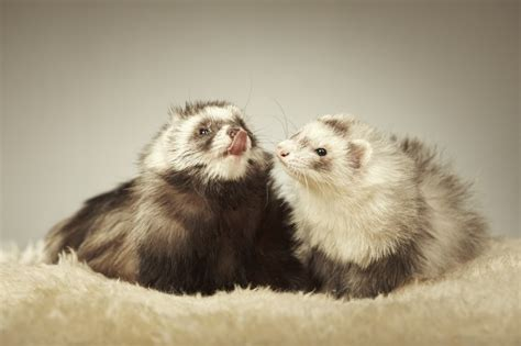 Coat Shedding by What You Need To About Ferrets And Coat Shedding
