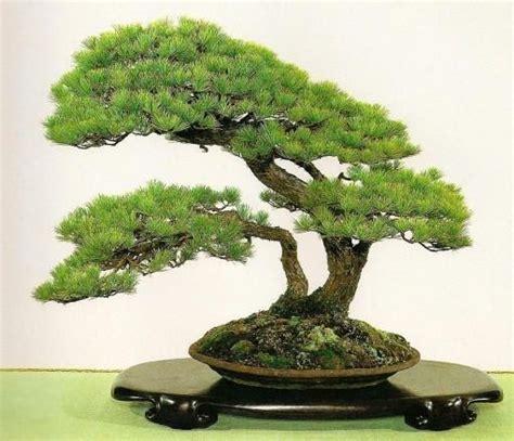 memupuk tanaman hias bonsai  benar
