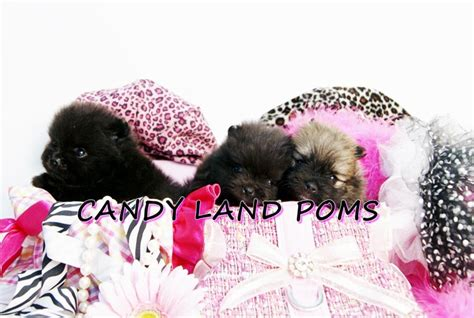 pomeranian puppies for sale in houston tx pomeranian puppies for sale in houston teddy poms for sale breeds picture