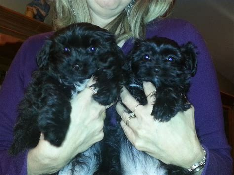 ebay classifieds yorkie 17 best images about my critters on chihuahuas great yarmouth and