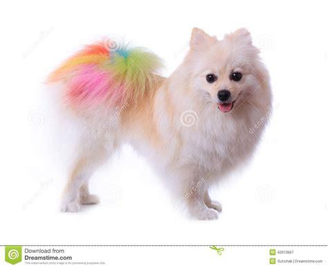 pom haircuts images for gt pomeranian dog haircuts animmmmmmmmmmmmmals
