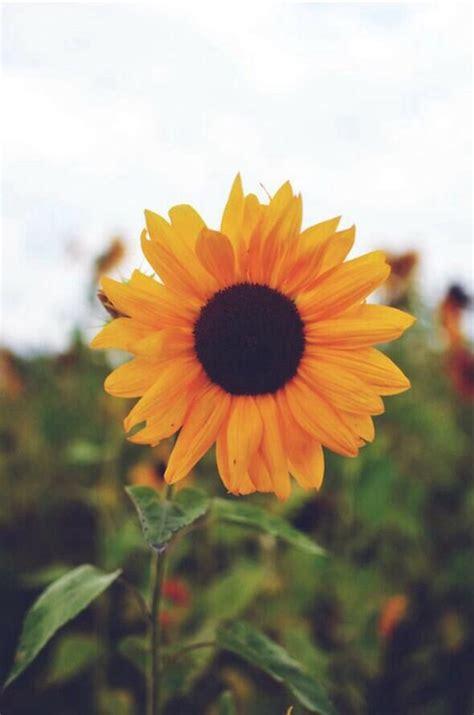 wallpaper for iphone sunflower sunflower wallpaper iphone wallpapers pinterest