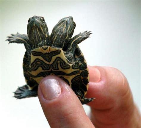 persone con due teste repubblica it galleria cuba la tartaruga con due teste