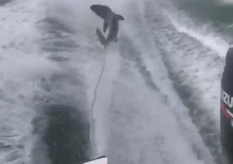 man dragged shark behind boat outrage investigation over video of live shark being