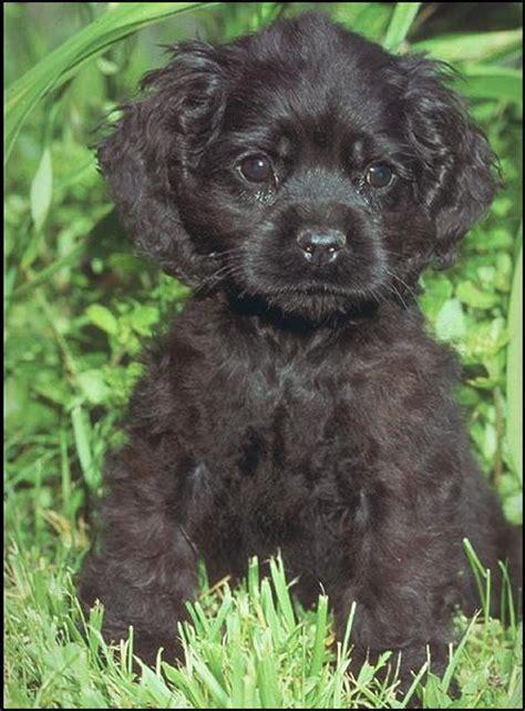 black cocker spaniel puppies puppy dogs black cocker spaniel puppies