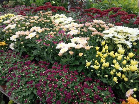 jual beli bunga krisan  jual beli bibit tanaman