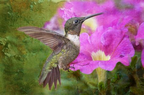 hummingbird and petunias photograph by bonnie barry