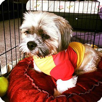 shih tzu seattle shih tzu mix for adoption in seattle washington leo quot i am in seattle quot