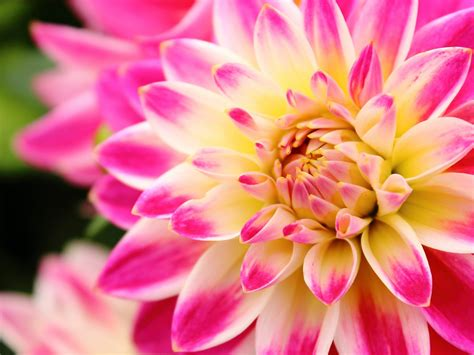 flower   colours pink dahlia white  yellow hd
