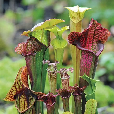 most difficult plants to grow webbed goblets and chalices pitcher plant seeds from park seed