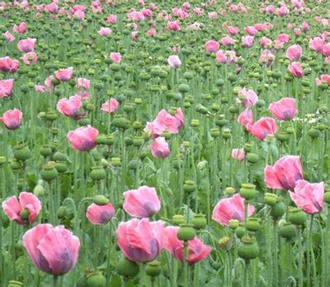 fiore oppio fiore di oppio fare di una mosca