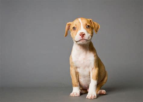 wallpaper dog bdfjade pitbull dog images bdfjade