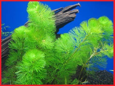 tanaman air  aquarium ngasihcom