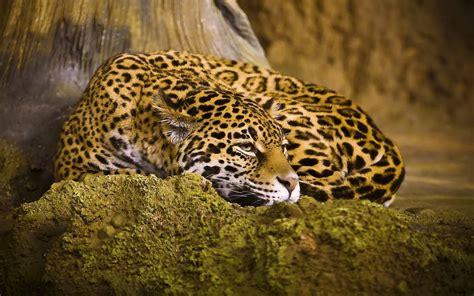 imagenes jaguar felino banco de im 193 genes hermoso jaguar fondo de 1920x1200px