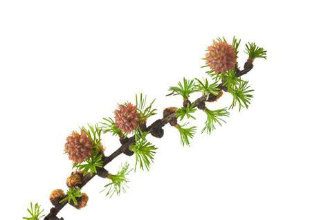 fiori di bach per autostima fiori di bach larice o larch pi 249 autostima e fiducia