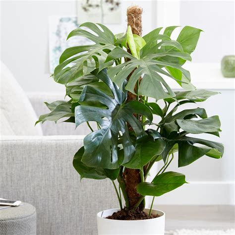 Tanaman Monstera Deliciosa buy swiss cheese plant monstera deliciosa delivery by