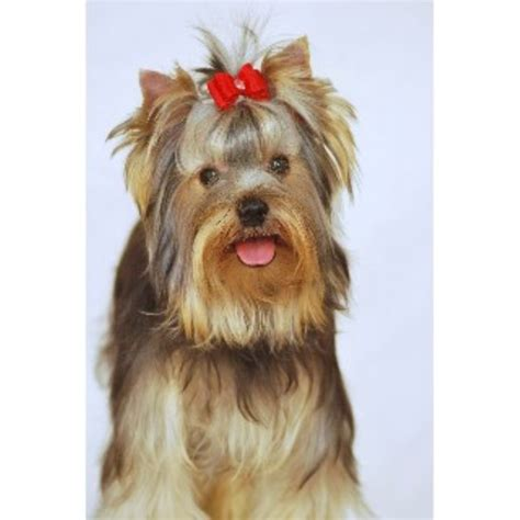 yorkies for sale in huntsville al medallion yorkies terrier breeder in huntsville alabama