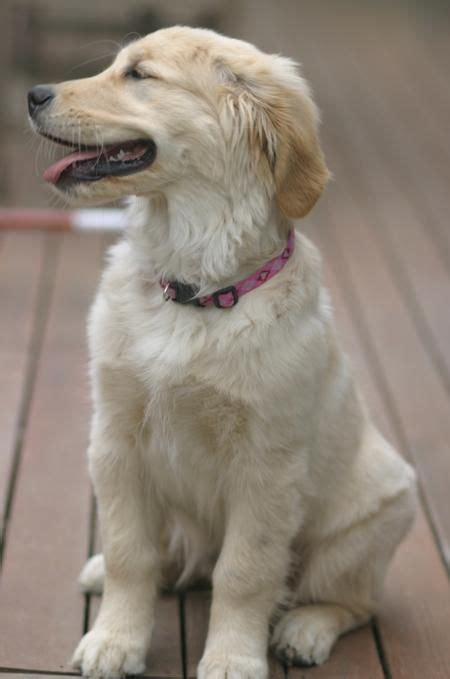 how fast can a golden retriever run 113 best images about adorable golden retrievers on