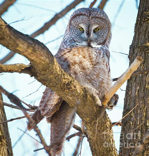 L Owl by Great Gray Owl Photograph By Ricky L Jones