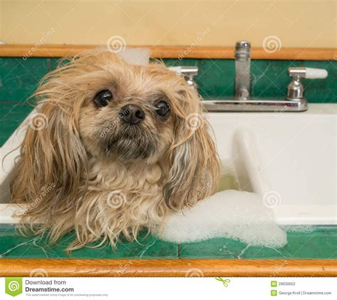 when can i bathe my shih tzu puppy shih tzu bath in sink stock photography image 29630652