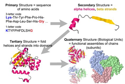 4 protein structure levels protein primary secondary tertiary and quaternary