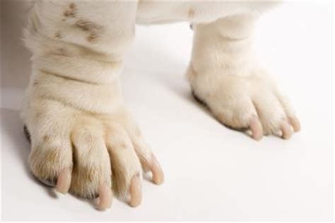 why does my pug his paws why does my it when i touch his front paws care daily puppy