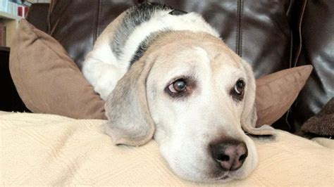 symptoms of thyroid problems in dogs what are symptoms of thyroid problems in dogs reference