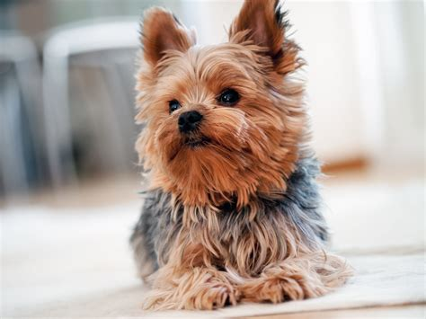 why yorkies are the best dogs beauteous 80 apartment dogs big design inspiration of the best dogs for apartment