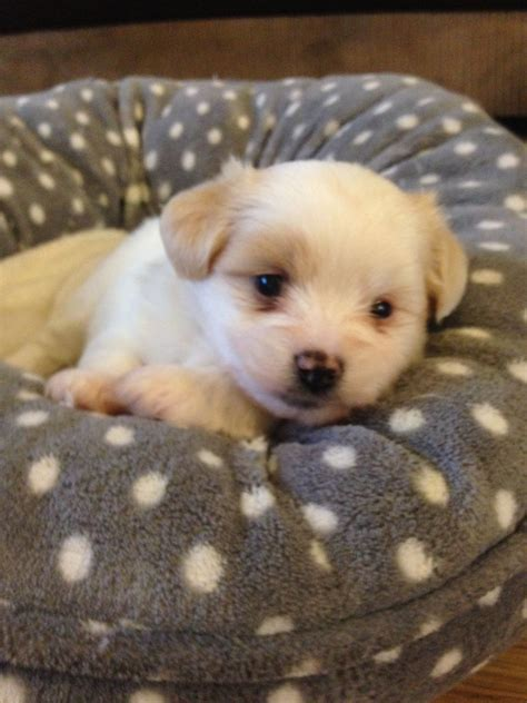 malchi puppies for sale malchi waltham essex pets4homes