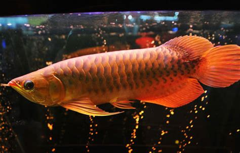 Lu Aquarium Arwana auspicious fish priced at 88 000 yuan center chinadaily cn
