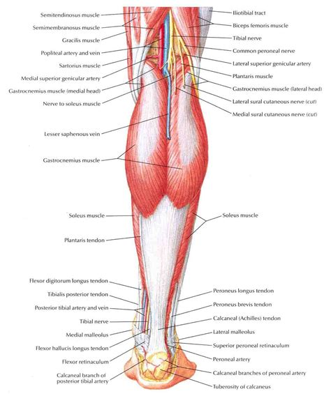 muscles diagram leg diagrams diagram site