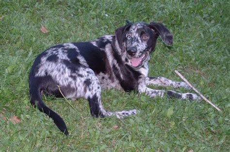 catahoula puppy catahoula leopard breed catahoula leopard temperament breeds picture