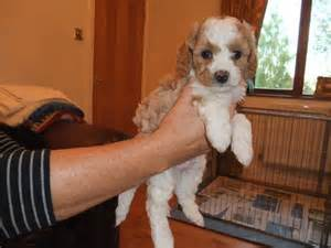 miniature cavapoo puppies low non shedding for sale