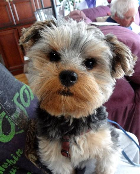 yorkie rescue in pa animal browse
