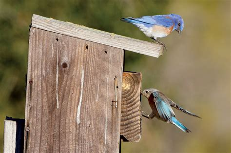 a helping hand for bluebirds bay nature