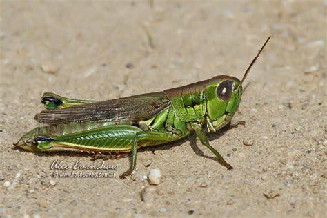 imagenes de grillos verdes insectos mas asquerosos del mundo mund 237 a off topic